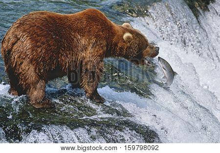 USA, Alaska, Katmai National Park, Brown Bear catching Salmon in river, side view