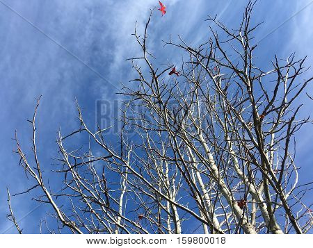 Winter maple tree which the leaves fell, on blue sky background