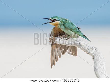 A view of a Blue-cheeked bee-eater perching with its mouth open