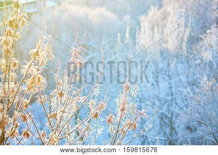 Branches Covered With Hoar Frost
