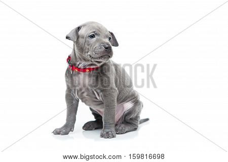 One month old thai ridgeback puppy dog in red collar sitting. Isolated on white. Copy space.