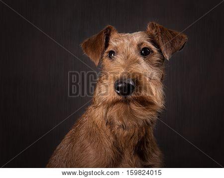 The portrait of Irish terrier puppy on the dark background
