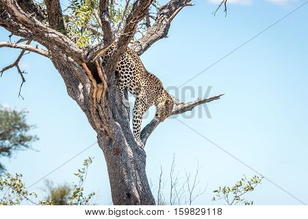 Leopard On The Tree In The Kruger Leopard Coming Down From A Tree In The Kruger National Park, South