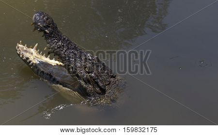 Crocodile in Vietnam with open mouth in water