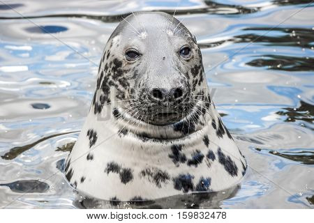 a grey patterned seal in water at zoo