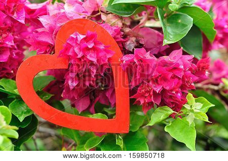 Valentines day. A red heart hanging in a pink bougainvillea tree
