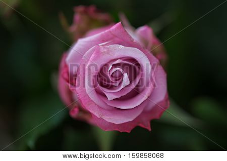 Pink rose buds on the rosebush in natural light