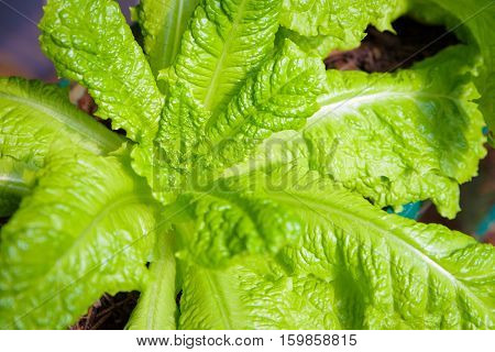 Closeup green salad Vegetable row in garden the nutrition in the future