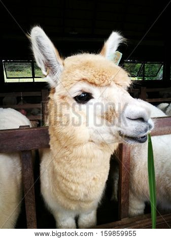 The lovely Alpaca smiling in the farm.