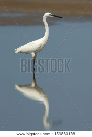 Reflected Little Egret (Egretta garzetta). Goa India