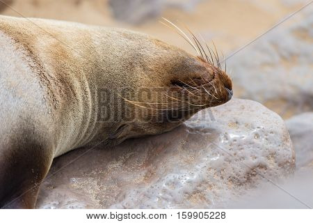 The Seal Colony At Cape Cross, On The Atlantic Coast Of Namibia, Africa. Close Up On Seal Face Nappi