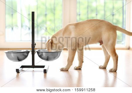 Golden Labrador dog eating from bowl indoors