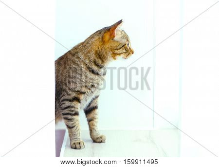 Curious tabby cat looking out of window