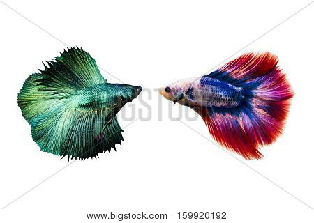 Couple betta fighting fish top form preparing to fight isolated a on white background