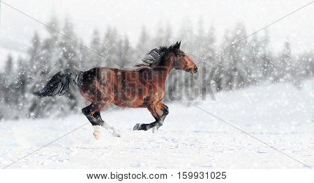 Horse Runs Gallop