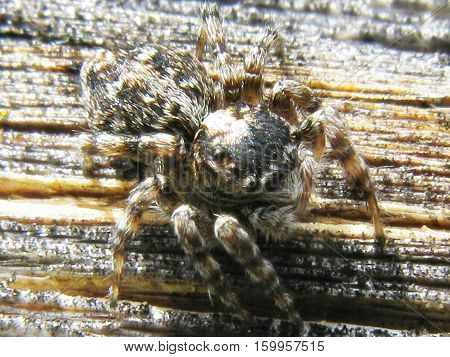 jumper spider with long legs macro view