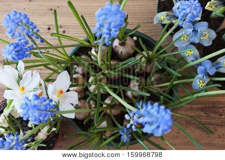 Flayt Lay Of Spring Flowers Like Crocus And Grape Hyacinth. Brown And Rustic Wooden Background. Card For Season Greetings
