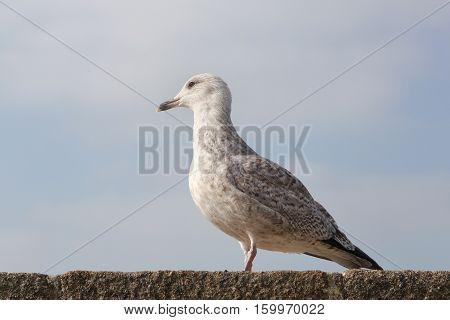 Juvenile herring gull posing on a wall