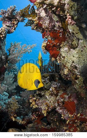 Masked butterflyfish, Chaetodon semilarvatus, swims at the reefs of Sharm-el Sheikh, Red Sea.