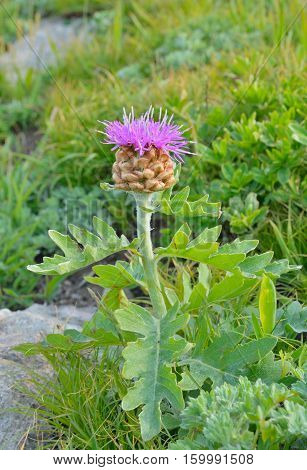 A close up of the Far-Eastern flower (Rhapontycum satzyperovii).