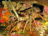 pic of panulirus  - Caribbean Spiny Lobster Panulirus argus emerges from den on reef near the island of Dominica - JPG