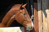 picture of stable horse  - A beautiful brown horse head profile portrait with an alert expression in the face and watching other horses out of the stable on a farm - JPG