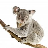 stock photo of koalas  - Koala in front of a white background - JPG