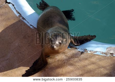 a california sea lion  (zalophus californianus) sits by its pool in a marine mammal rescue station