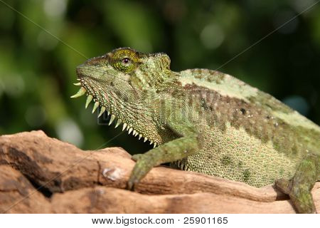 "a female ""  Four-Horned Chameleon"" (chamaeleo quadricornis)  sits on a branch while I take her picture against a blue sky (females do not have horns on this species)"