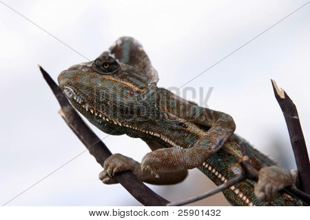 a vieled chameleon