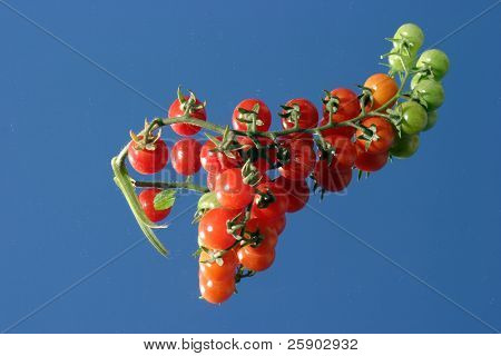 Fresh picked cherry tomatos from my garden on a mirror with a blue sky close up