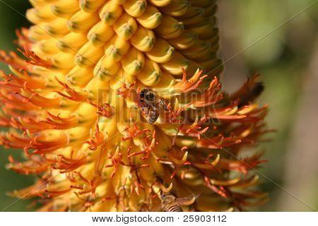 Honey Bees pollenate a Aloe Africana flower