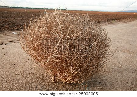 """a tumble weed aka """"Salsola"""" """"Saltwort or Russian thistle"""" sits on a dirt road"""