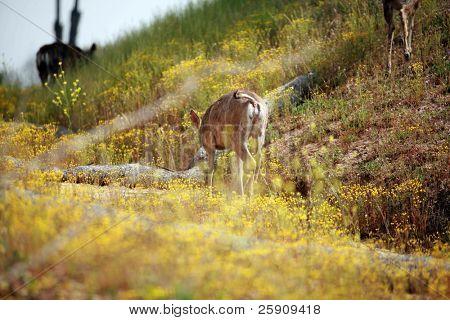 wild mule deer
