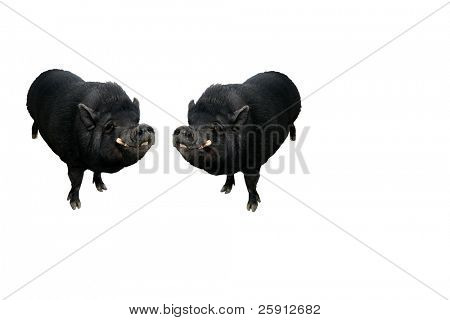 isolated potbellied pigs on white