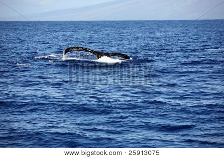 "a ""humpback whale"" ""Megaptera novaeangliae"" whale diving into the warm blue waters of Maui Hawaii showing off its massive tail"