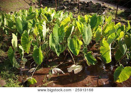 "taro plant ""colocasia esculenta"" growing on maui hawaii, a hawaiian food staple"