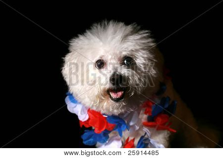 Low Key shot of Fifi the Bichon Frise with a red white and blue hawaiian lei for the Forth of July isolated on Black