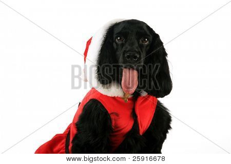 A Black English Cocker Spaniel wears her christmas outfit,  isolated on white