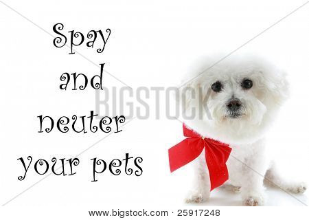 "A Pure breed Bichon Frise wears a red bow with ""spay and neuter your pets"" text isolated on white, text is easily replaced with your text"