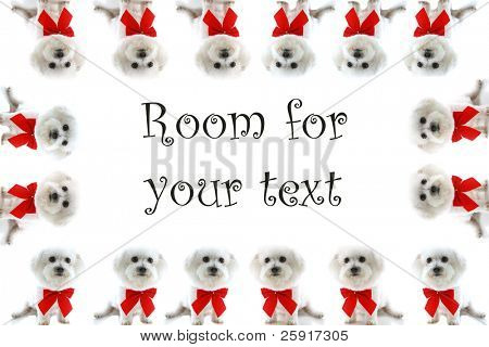 sixteen Pure breed Bichon Frises wear red bows with room for your text isolated on white , text is easily replaced with your text