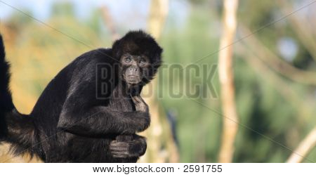 Staring Colombian Spider Monkey