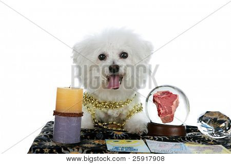 """a purebred Bichon Frise as a """"Pet Psychic"""" or """"Psychic Pet"""" or """"fortune teller"""" sees a Steak Dinner in you future isolated on white with room for your text"""