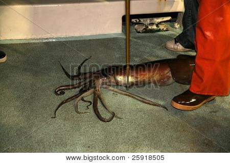 Giant Squid on a fishing boat