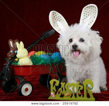 A Pure Breed Bichon Frise Smiles as she fills in for the Easter Bunny in this Easter concept shot on red velvet