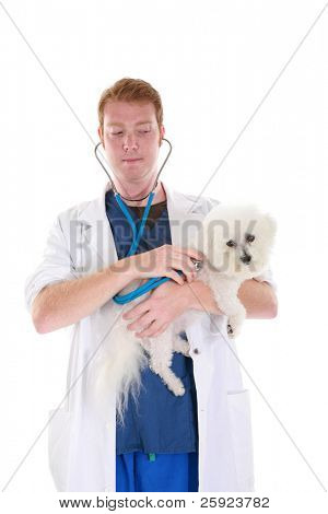 a veterinarian gives Fifi the Bichon Frise a check up, isolated on white
