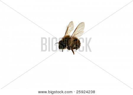 "North American Africanized Honey Bee aka ""Killer Bee"" isolated on white"
