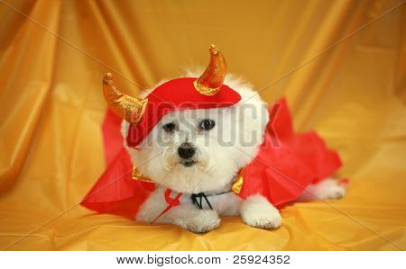 Fifi the Purebred Bichon Frise fresh from the Doggy Day Spa tries out her Halloween Costumes against a orange plastic table cloth to decide which costume she is going to wear this year