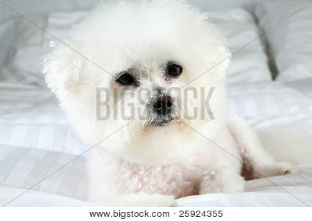 portrait of Fifi the purebred Bichon Frise dog on a white down (feather) comforter relaxing on her bed