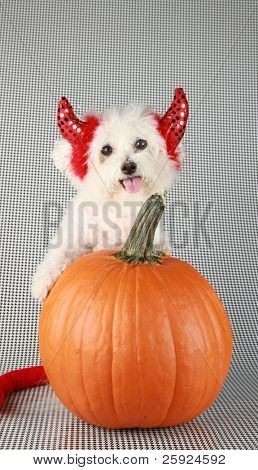 Fifi the Purebred Bichon Frise smiles as she modesl in her DEVIL DOG costume with her pumpkin against a black and white background